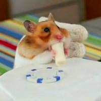 ブリトーを食べるハムスター動画