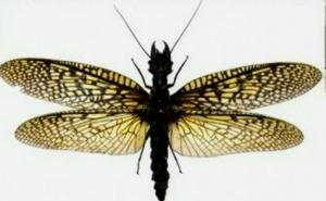 オオキバヘビトンボ