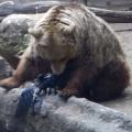 池で溺れたカラスを熊が救う感動動画